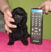 Продаётся пудель той,  очаровательный щенок черного окраса