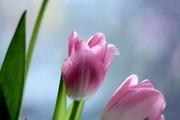 Тюльпаны к 8 марта без посредников от производителя