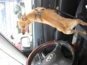 Продаётся щенок породы карликовый пинчер